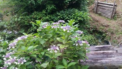 紫陽花が…(^-^)