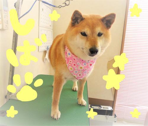 柴犬のシャンプー( *´艸`)