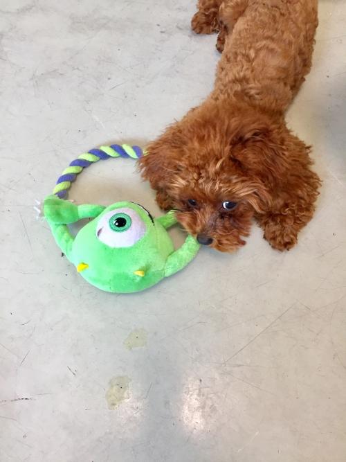 トイプードル子犬♫ブリーディング群馬高崎店