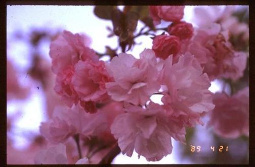 楊貴妃 in 1989! 川口市安行より、桜苗木・植木販売!