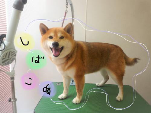 柴犬のシャンプー(^^♪