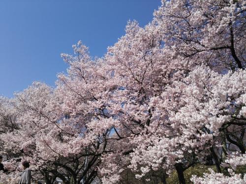 満開の桜を(^^)