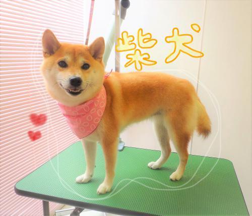 柴犬ちゃんのグルーミング☆