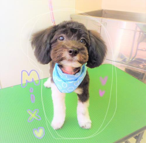 Mixちゃんのトリミング☆