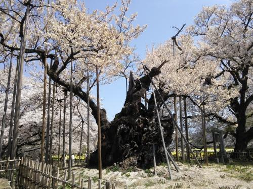 山高神代桜(^^)