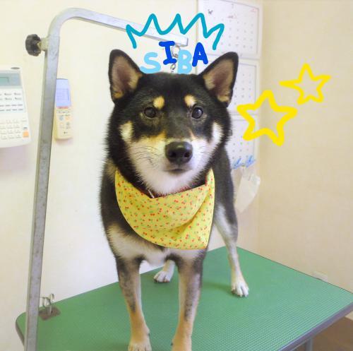 柴犬(^o^)