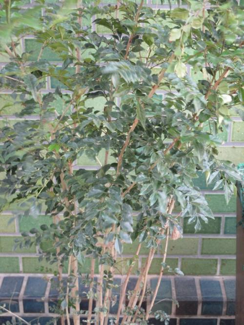 大人気のシマトネリコ!植木、苗木の販売!