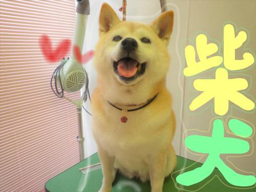 柴犬のグルーミング( ^ω^ )