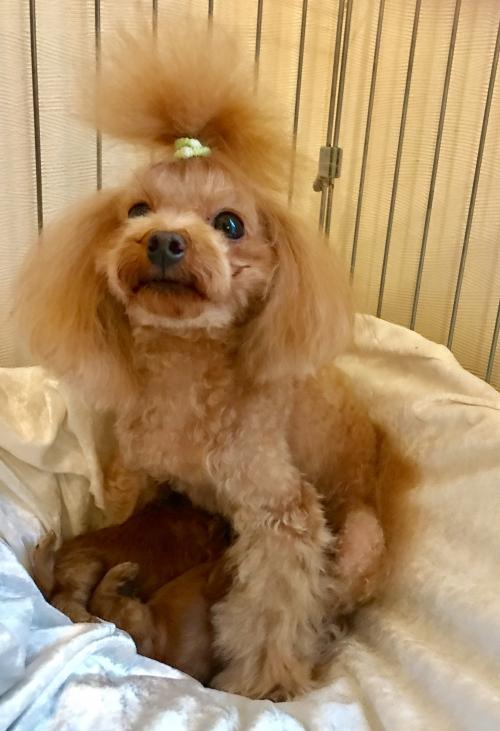 トイプードル子犬*ブリーダー群馬高崎店