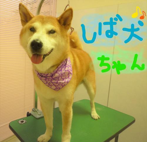 柴犬のグルーミング(^o^)