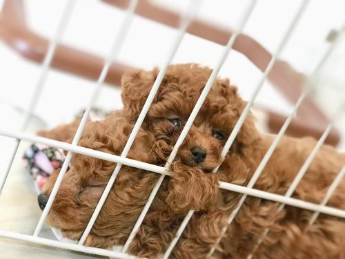 トイプードル子犬♫