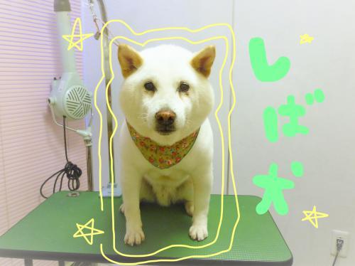 柴犬のグルーミング(*^-^*)