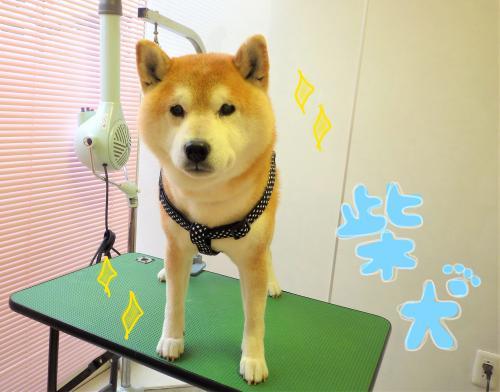 柴犬のグルーミング(^_-)-☆