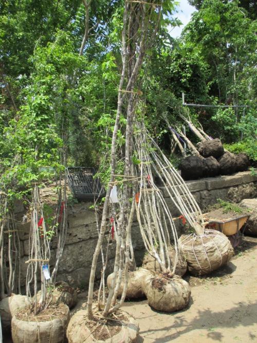 アオダモの株立ち!川口市安行の植木苗木を全国へ販売!