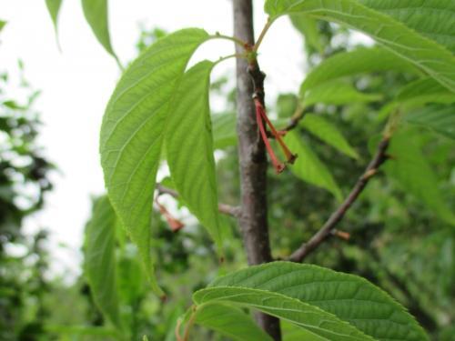 寒緋桜の実!桜苗木と植木の販売!