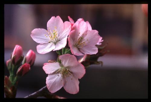 フワッと香る匂桜、静匂!桜苗木・植木の通販、販売!