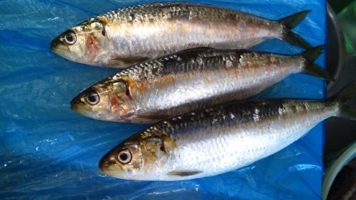 カタボシイワシ。珍しい魚です。