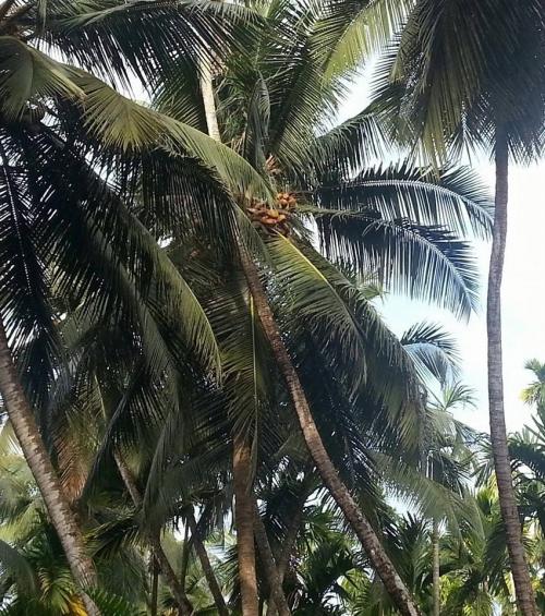 ココナッツの落下先は…?