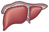 夏バテと肝臓