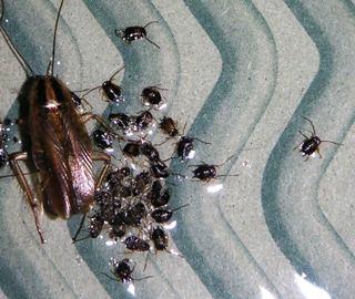 チャバネゴキブリ・クロゴキブリ駆除ならお任せください!