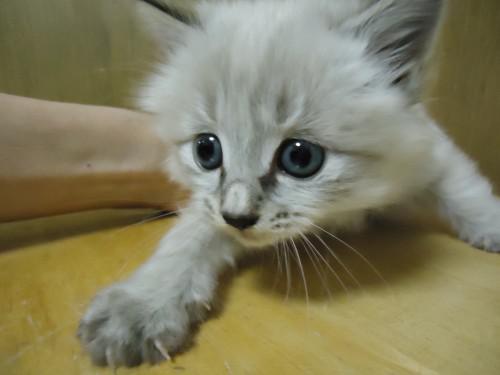 子猫がやってきました(*^_^*)