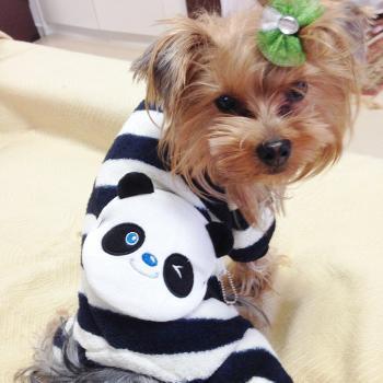 ヨーキーちゃんがパンダを着たよ♡