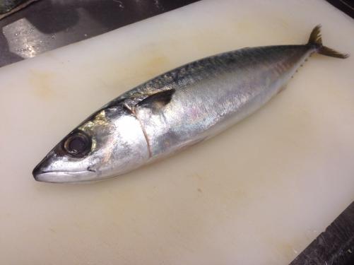 仙崎産の鯖  〆鯖にて