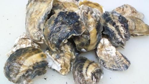生牡蠣!小長井の牡蠣。長崎県産です。味は濃厚。
