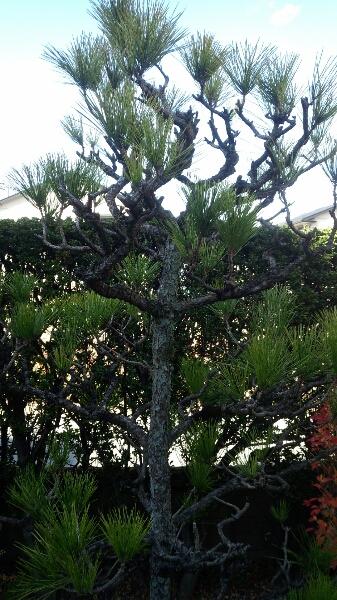 岡崎市 庭木剪定