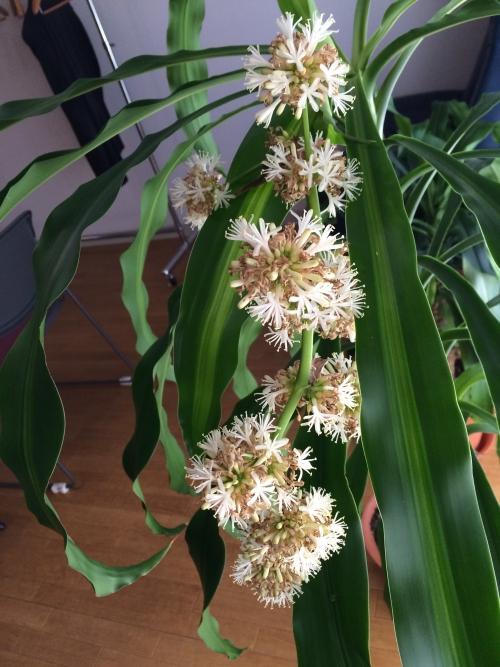 幸福の木の花が咲いています20150125