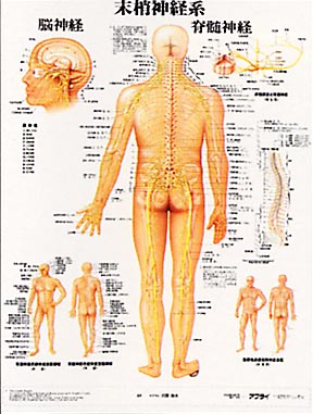 末梢神経の絞扼(こうやく)障害について①