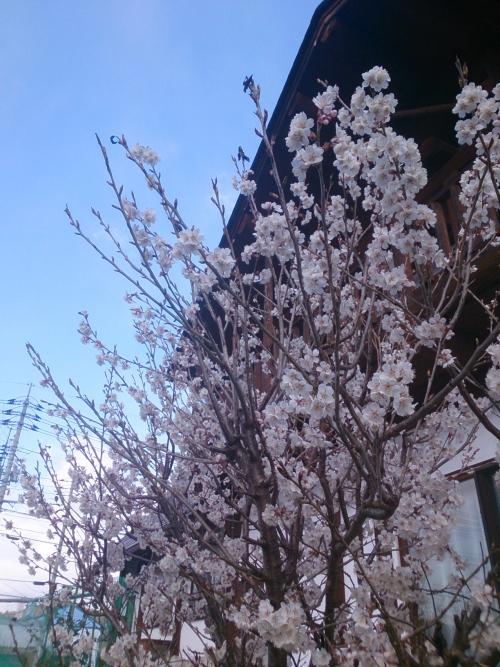 我が家のさくらんぼの桜は8部咲き(*^▽^)/★*☆♪