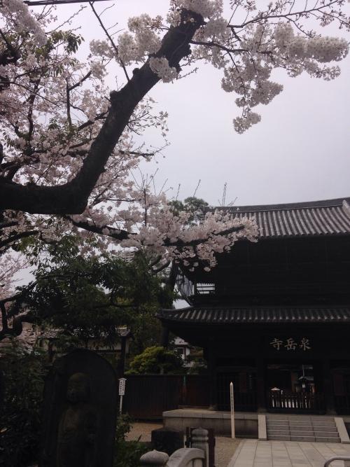 泉岳寺の桜が綺麗です