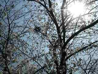 桜が開花してるよ皆で今日から公園だ〜