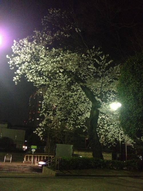 息抜き夜桜