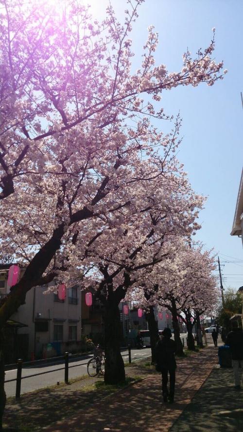 桜   満開なのに。。