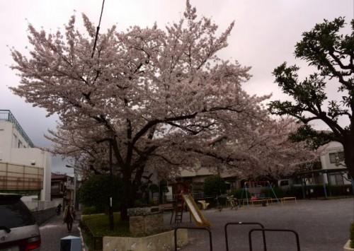 お店の近くの桜です。
