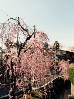 釜川沿いのしだれ桜が満開です。