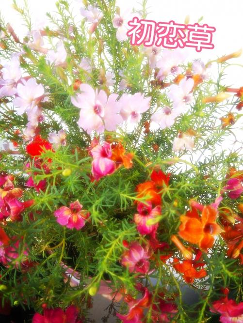 エステサロンにお花☆初恋草