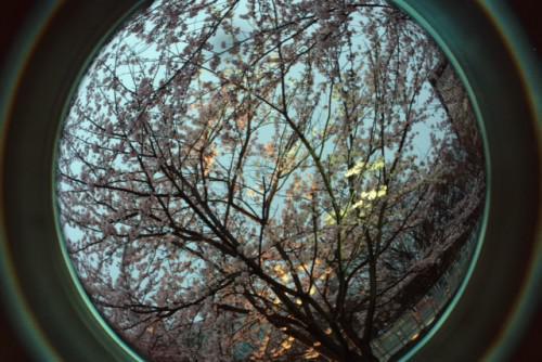 花見 桜 白山神社