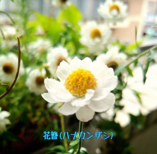 エステサロンに新しいお仲間【花簪(ハナカンザシ)】