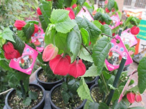 「アブチロン」 花木、緑化樹木の販売!