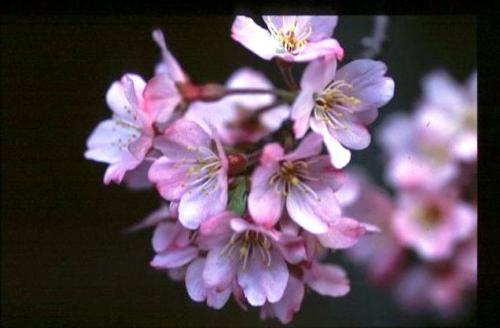 植木の郷、川口市安行より、桜の植木苗木の販売!