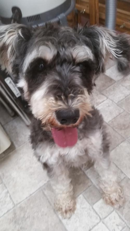 保護犬です。シュナウザーの男の子