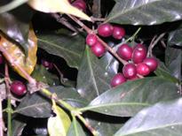 コーヒーの三大原種