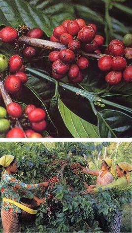インドネシア スラウェシ《カロシ》