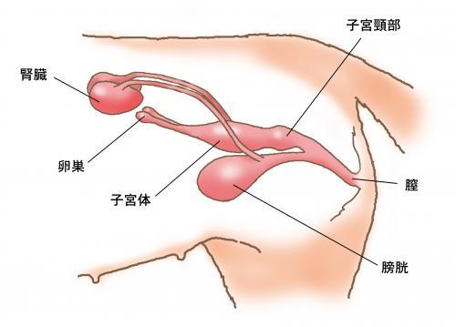 犬、猫の六腑の一つの膀胱について腎臓との関係性