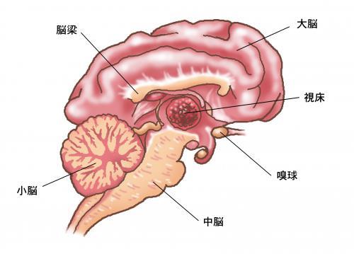 犬猫の脳と髄の奇恒の腑について