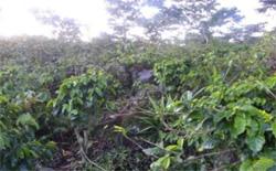グァテマラ《パンポヒラ農園》