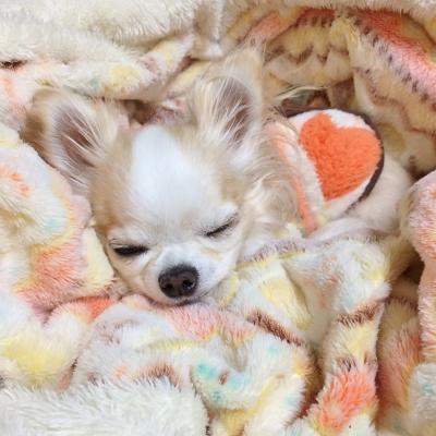 幸せそうに寝るチワワ